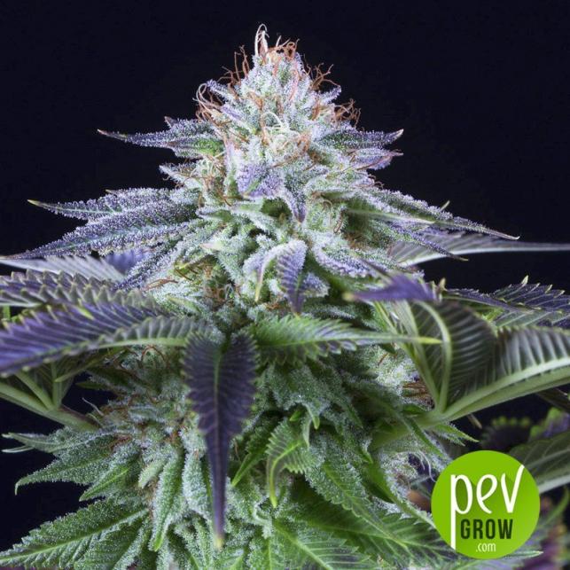 Dinamed Kush CBD Autoflowering - Dinafem Seeds