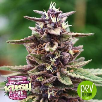 Purple Kush 1:1 Auto - Seedsman