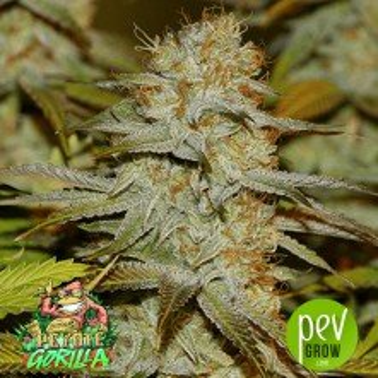 Peyote Gorilla - Seedsman