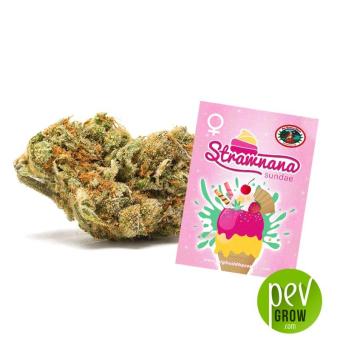 Strawnana Sundae - Big Buddha Seeds