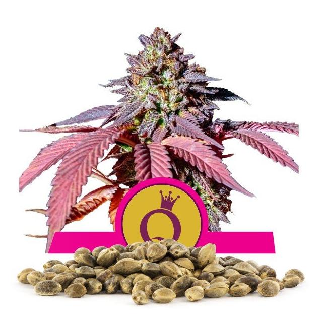 Purple Queen - Sweet Seeds