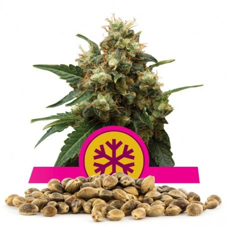Ice - Royal Queen Seeds