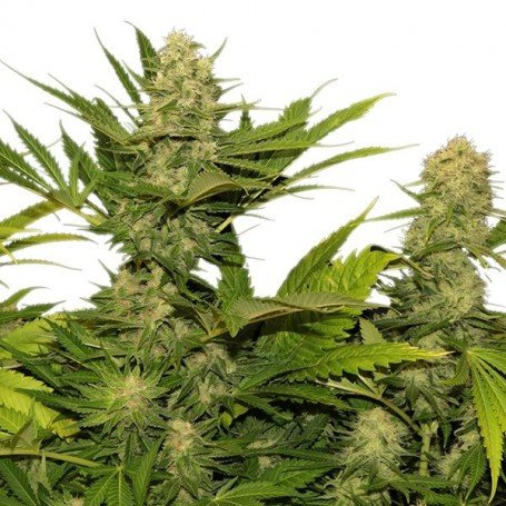 Skunk XL Royal Queen Seeds...