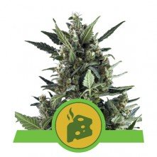 Blue Cheese Auto Royal Queen Seeds