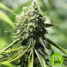 Old School Skunk 2.0 Autoflowering - LaMota Seeds