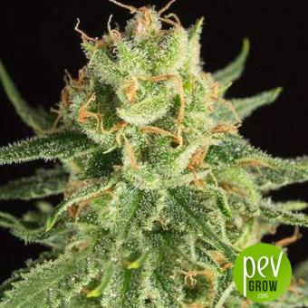 Pure Amnesia Autoflowering - LaMota Seeds