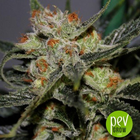 Orange Cream - Dark Horse Genetics