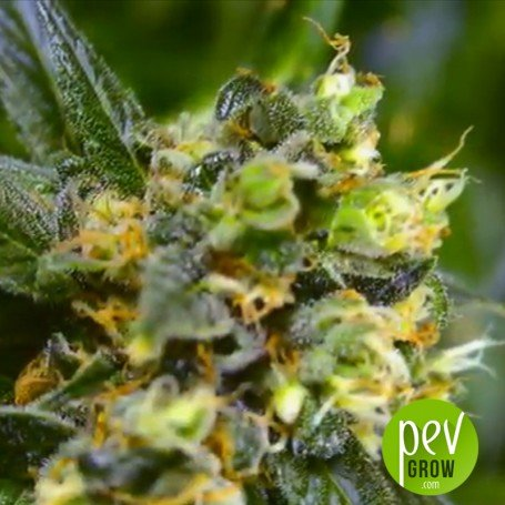 Indigo Berry Kush, are marijuana seeds with the Sweet Seeds stamp...