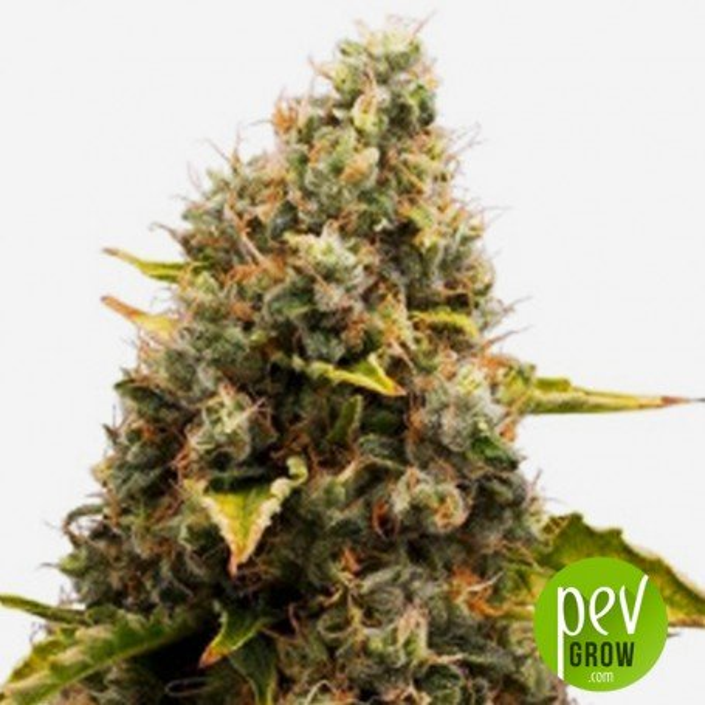 CBD Jam - Delicious Seeds