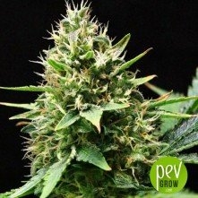 Sweet Skunk  F1 Fast Version Sweet Seeds