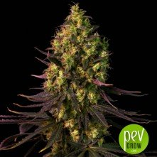 Dinamed CBD Dinafem Seeds