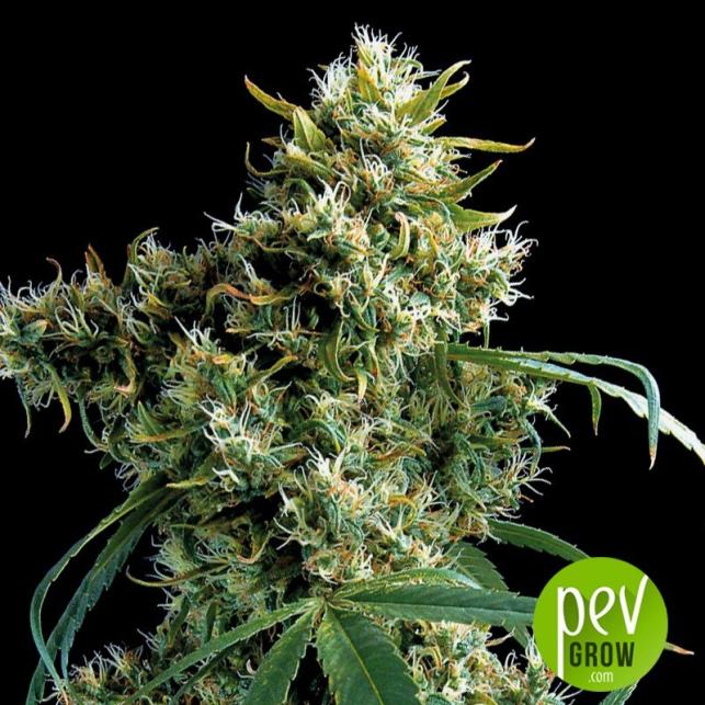 Super Silver - Dinafem Seeds