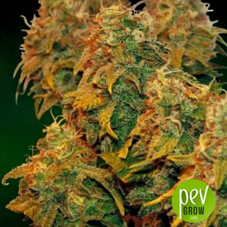 8 Ball Kush - Barney's Farm