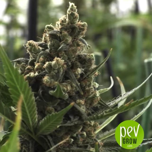 Mamacita's Cookies - Ministry of Cannabis