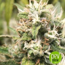 Hiydrow - Medical Marijuana Genetics
