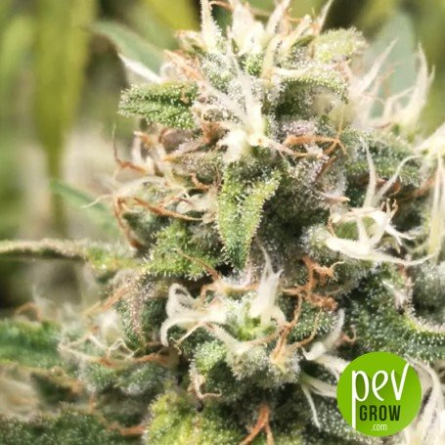 Hiydrow - Medical Marijuana Genetics