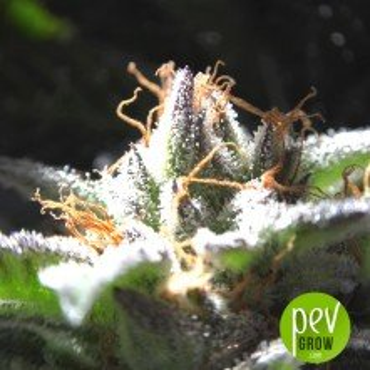 Raspberry Boogie - Mosca Seeds