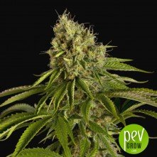 The Critical Auto - Xtreme Seeds