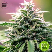 CBD Good Wild Shark - Bulk Seeds Bank
