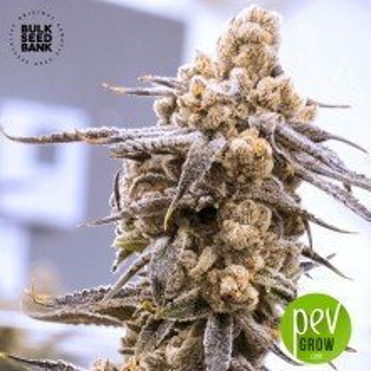 Psychedelic - Bulk Seed Bank