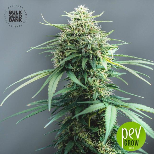 White Widow - Bulk Seed Bank