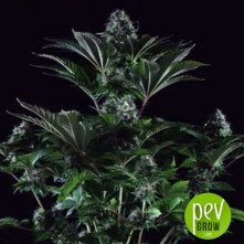 Black Widow (Medicinal) - Positronics