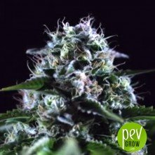 Black Widow CBD - Positronics