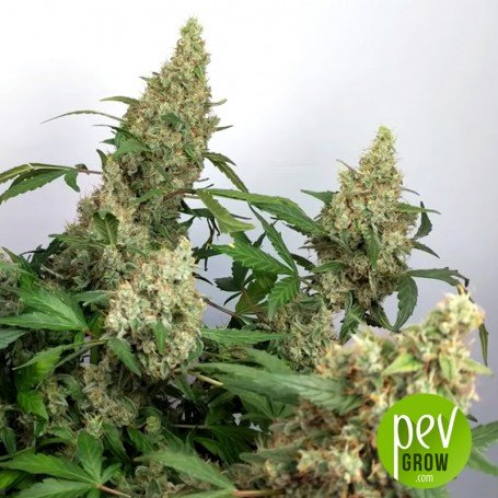 Unknown Kush Early Version