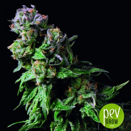 Purple Urkle - Pyramid Seeds