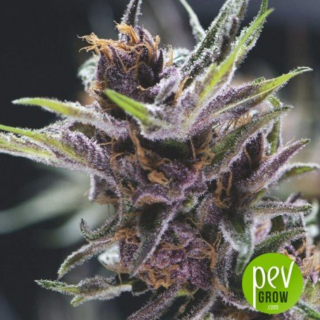 Black Cherry Punch - Pyramid Seeds