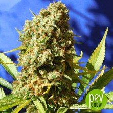 Bruce Banner #3 Fast - Original Sensible Seeds