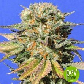 Dr Bruce Banner CBD - Original Sensible Seeds