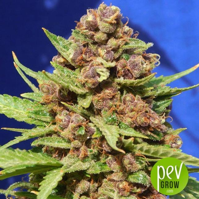 Purple Punch Cookies - Original Sensible Seeds