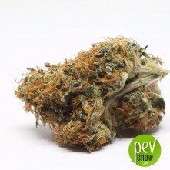 NY Diesel bud - Sagarmatha Seeds