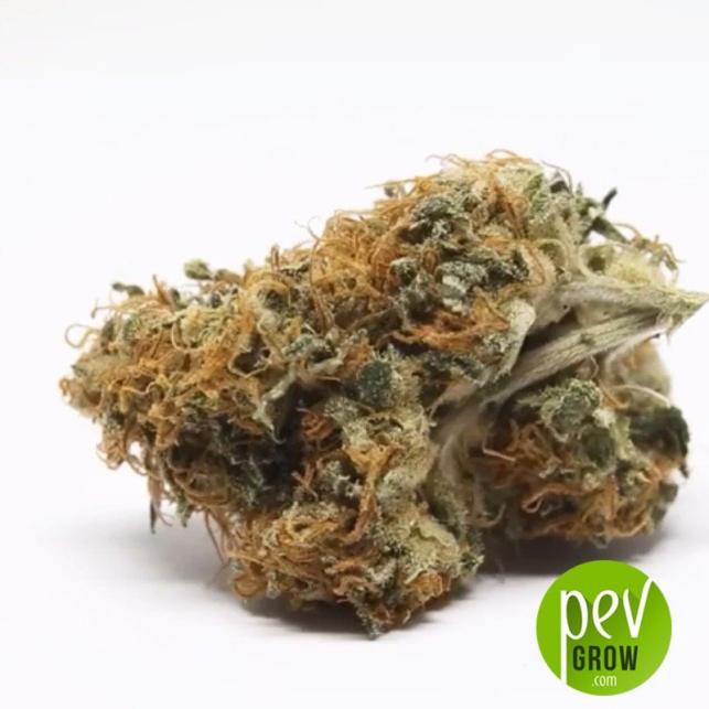 NY Diesel cogollo - Sagarmatha Seeds