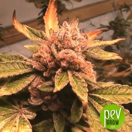 Dosi Cake - Archive Seeds