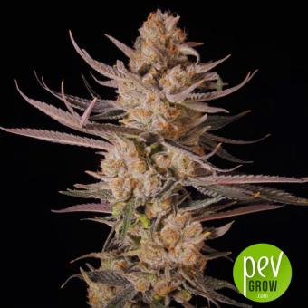 CBD Rich Candy - Philosopher Seeds