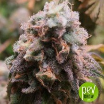 Pure CBD Punch - Philosopher Seeds