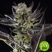 Purple Punch x Do-Si-Dos - Philosopher Seeds