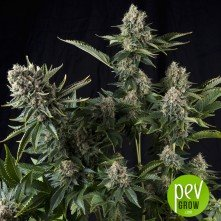 White Widow CBD - Pyramid Seeds