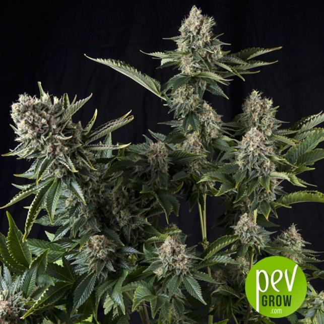 White Widow CBD - Pyramid Seeds