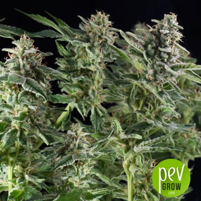 Northern Lights CBD - Pyramid Seeds