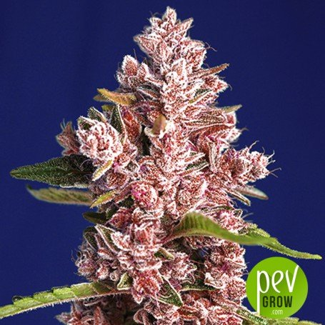 Tropicanna Poison F1 Fast Version - Sweet Seeds