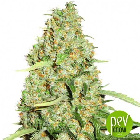 THC-Victory - Dutch Passion