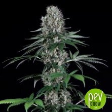 El Patron - Royal Queen Seeds