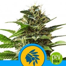 Tatanka Pure CBD - Royal Queen Seeds