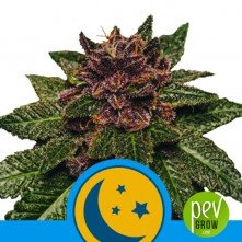 Purplematic CBD - Royal Queen Seeds