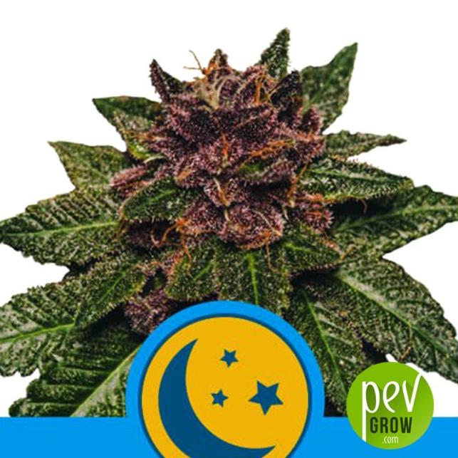 Purplematic CBD - Royal Queen Seeds
