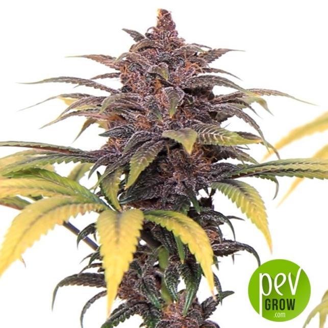 Buddha Purple Kush - Buddha Seeds