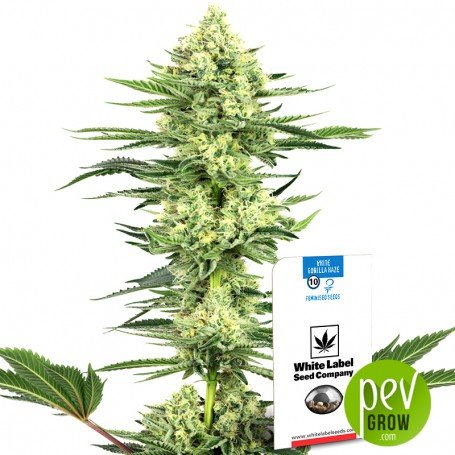 White Gorilla Haze - White Label Sensi Seeds